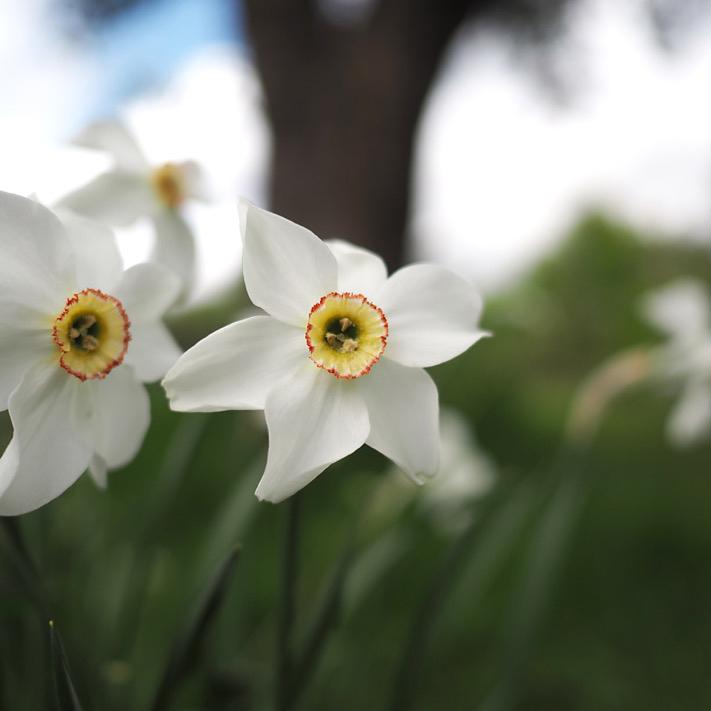 Narcissus poeticus Andrew O'Brien