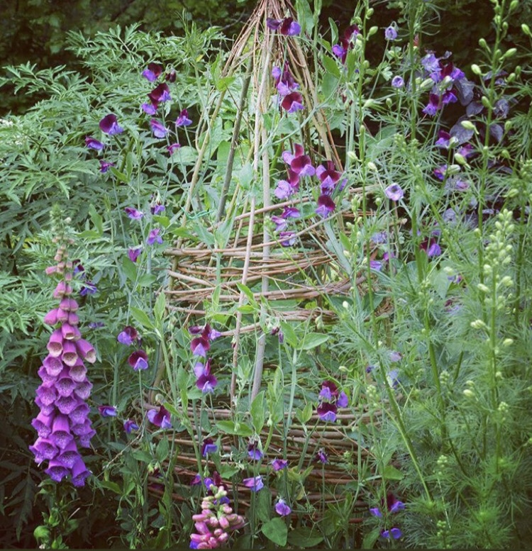Sweetpeas Lathyrus odorous 'Matucana' growing up a willow obelisk © Anya Lautenbach