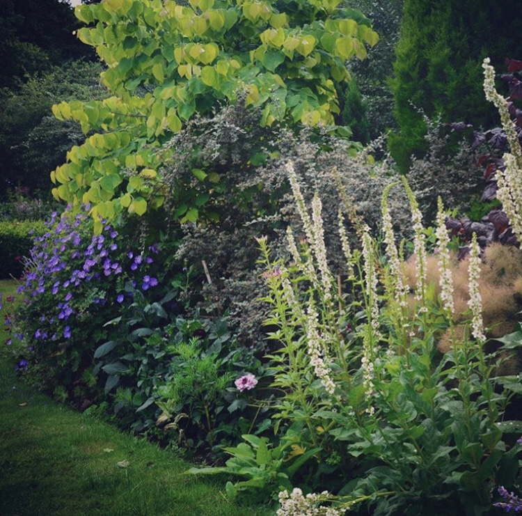 Verbascum 'Wedding Candles' in the herbaceous border © Anya Lautenbach