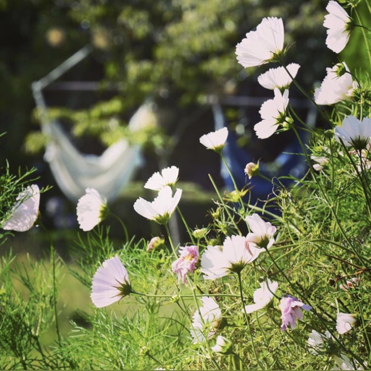 Cosmos 'Cupcakes & Saucers' in English country garden © Anya Lautenbach