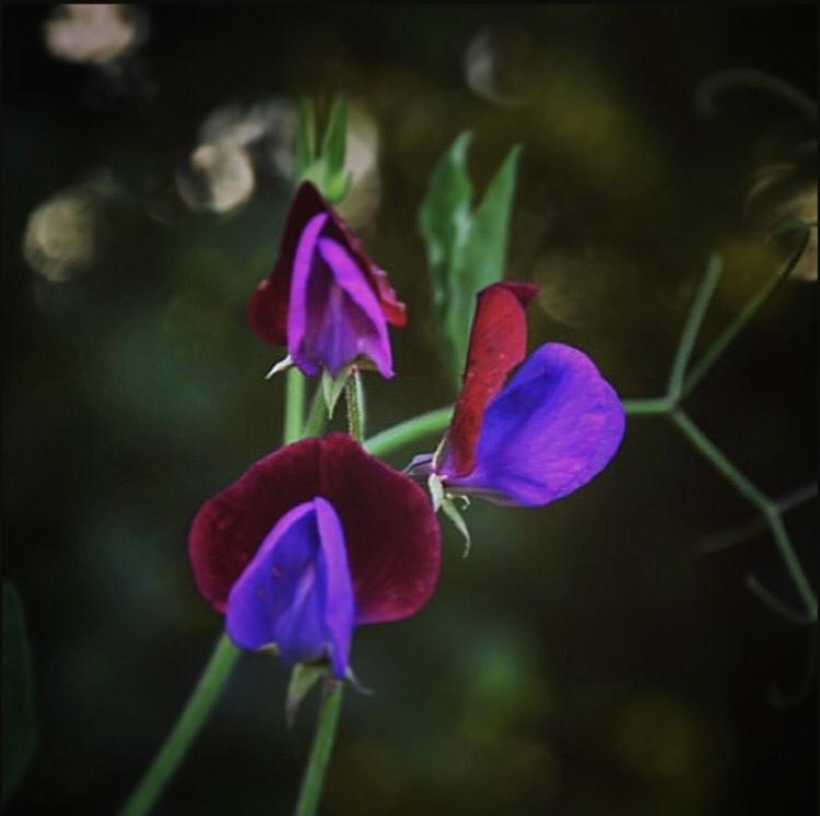 Sweetpeas Lathyrus odorous 'Matucana'  © Anya Lautenbach