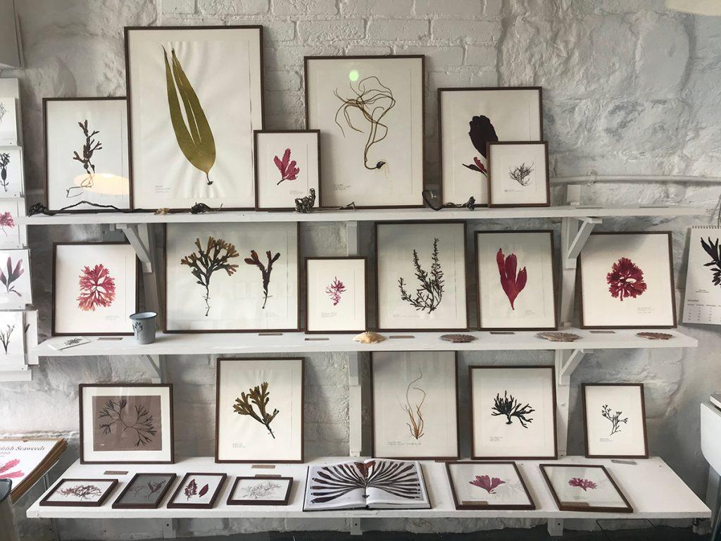 Framed pressed seaweed on shelves at Molesworth-and-Bird in Lyme Regis, Dorset
