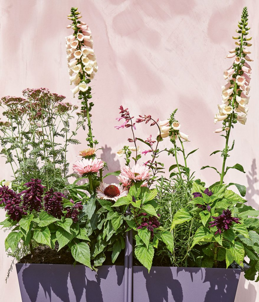 Isabelle Palmer's planter with Foxgloves, Echinacea, Lavender, Salvia and Achillea, against pink wall, from Modern Container Gardening, image by Nassima-Rothacker