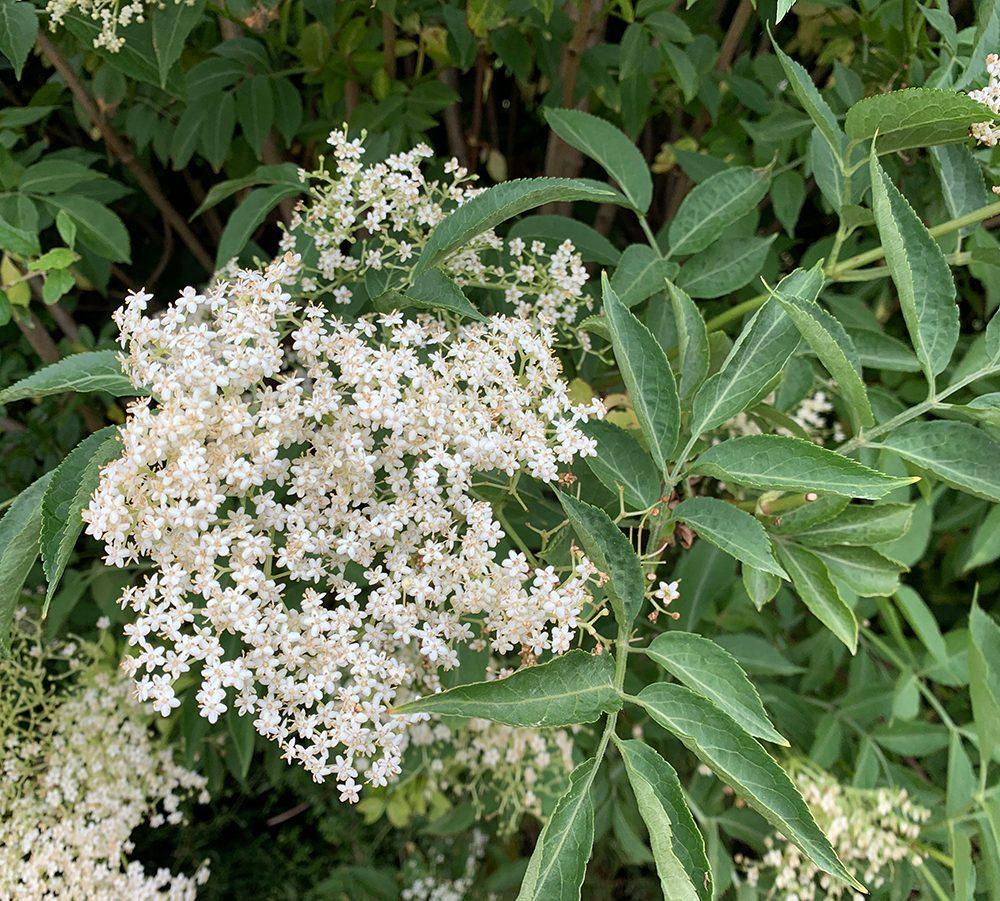 Video: How to Make Elderflower Cordial