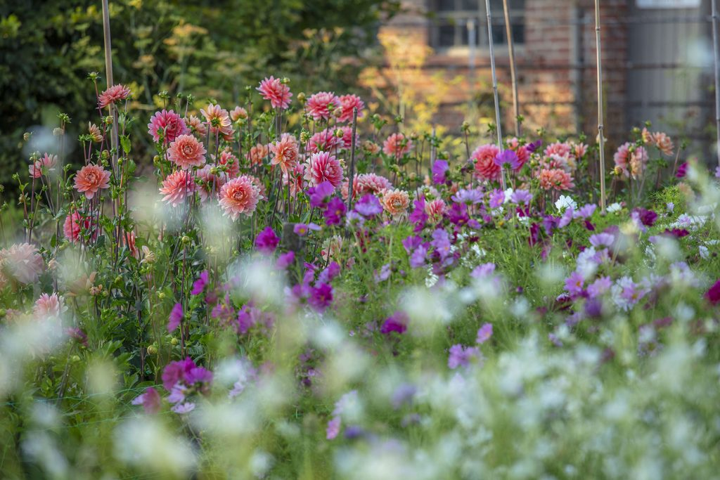 Dahlia cutting garden Green & Gorgeous flower farm © Clive Nichols