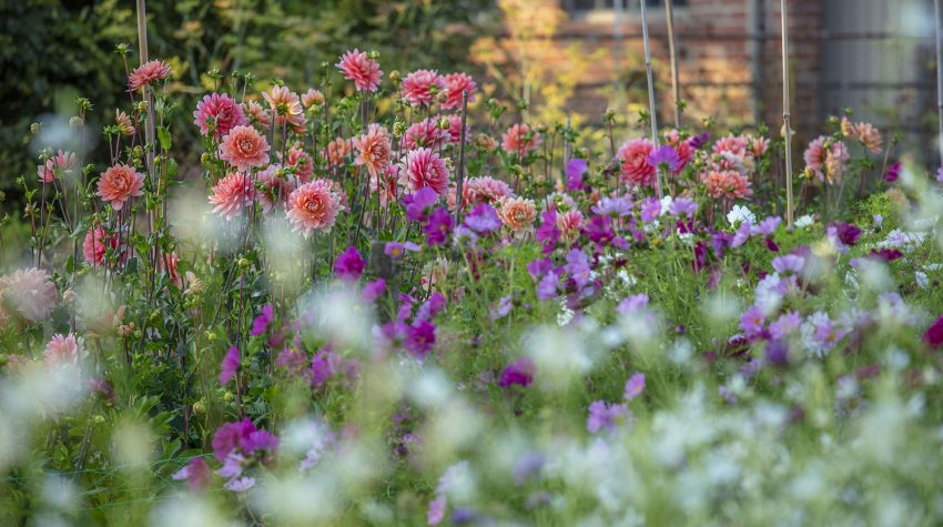 Dahlia cutting garden Green & Gorgeous flower farm © Clive Nichols