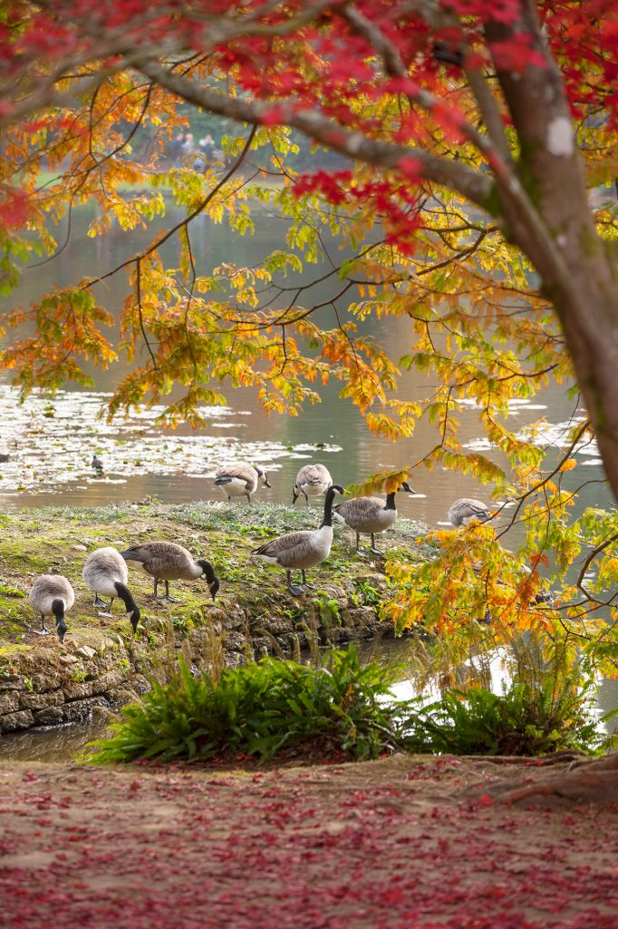 geese in autumn © Clive Nichols