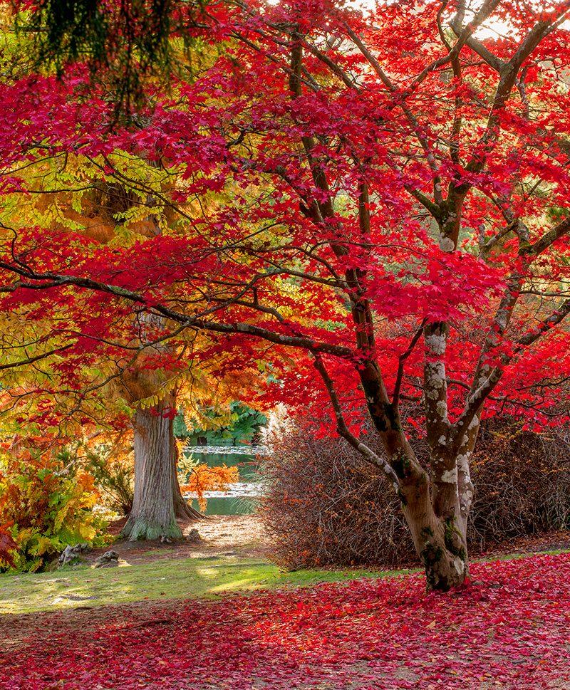 Acer palmatum Sheffield Park © Clive Nichols