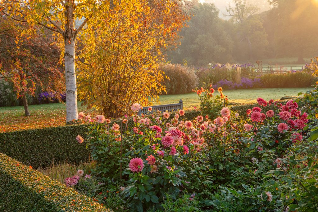 Pettifers parterre with Dahlias 'Preference' and 'American Dream' with Betula ermanii