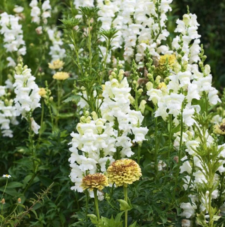 Antirrhinum majus 'Admiral White', £3.99 for approx 50 seeds, RHS
