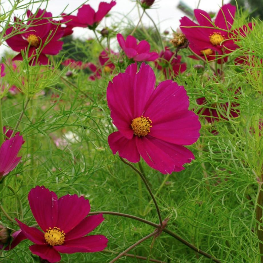 Cosmos bipinnatus 'Dazzler', £3.79 approx 150 seeds, RHS