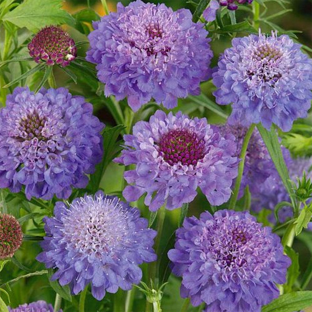 Scabious-'Blue-Jeans',-£14.99-15-plants,-Thompson-&-Morgan