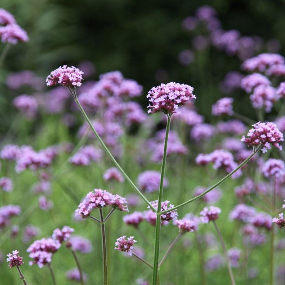 Verbena bonariensis, £7.99 2l pot, RHS