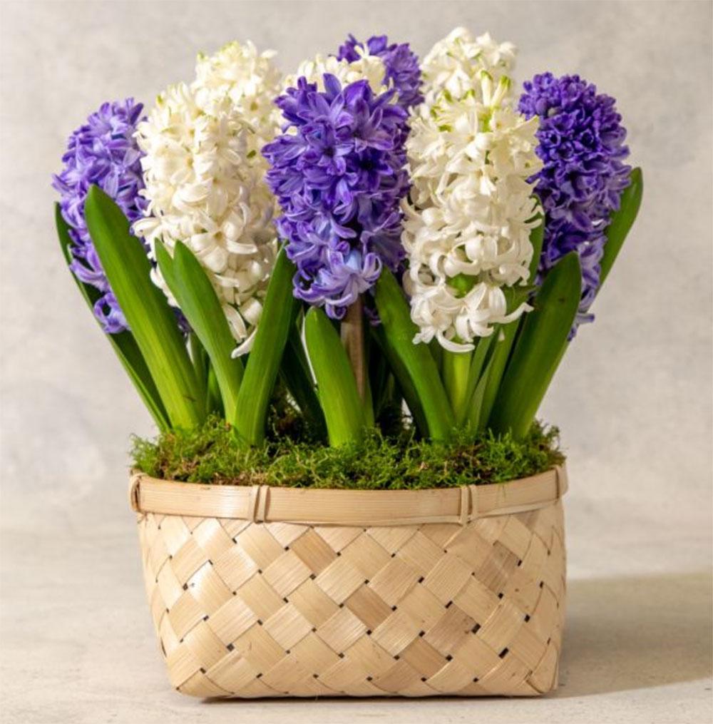 Flowering-hyacinth-basket,-£28,-Waitrose-Florist