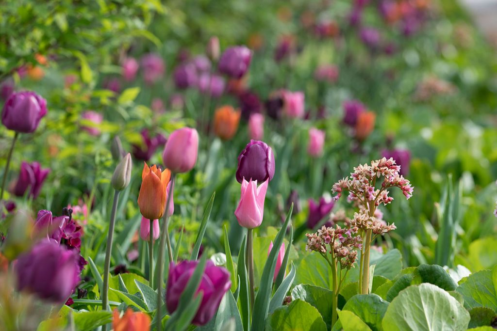 Tulips at Airfield by Jonathan Hession. From Gardens-in-my-Life by Arabella Lennox-Boyd
